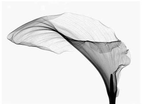 Floral Radiography