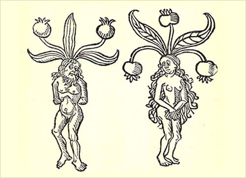 Mandrake from A Pictorial History of Ancient Pharmacy (1902) - Peters, Hermann
